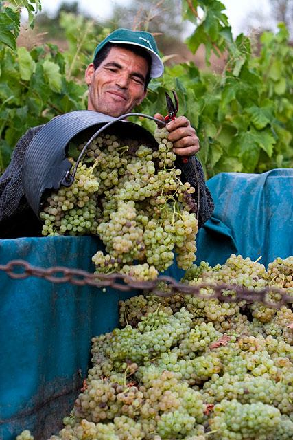 Grape Harvest in the Penedès wine region of Spain. August 2009. Image 06