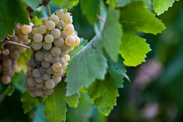 Grape Harvest in the Penedès wine region of Spain. August 2009. Image 07